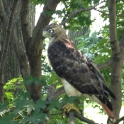 Hawk at 103rd Street, Summer 2013